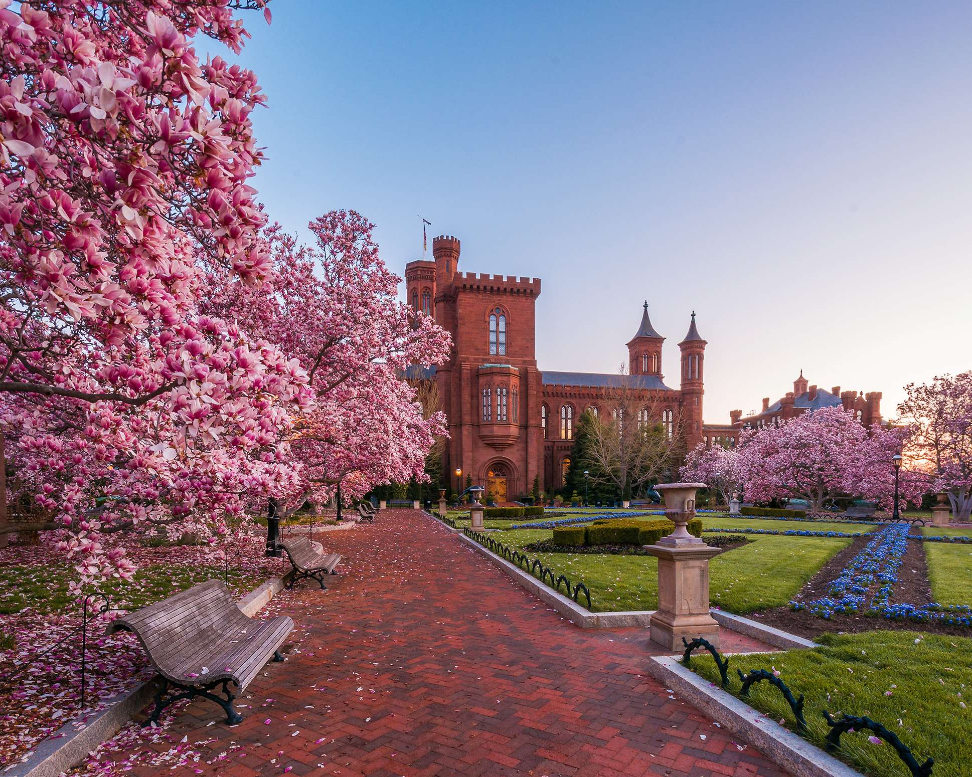 Magnolia trees give a wonderous display of color in the Smithsonian Castle courtyard as the sun rises to the east.